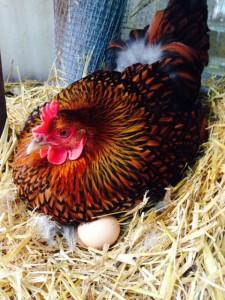 hen on eggs